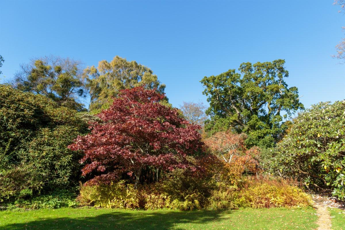 Autumn Maples at Furzey