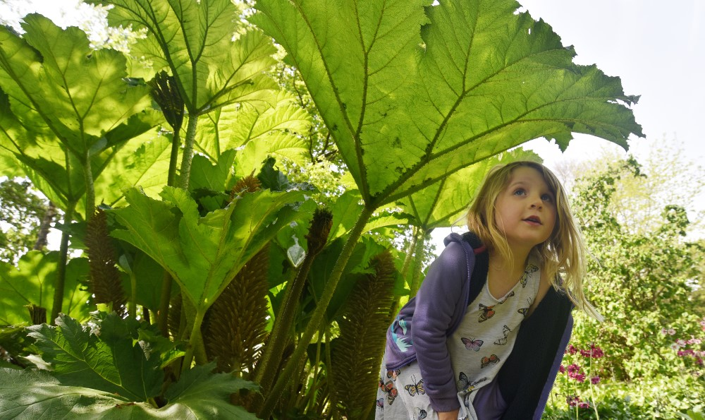 Young girl standing under Gunnera plant at Furzey Gardens