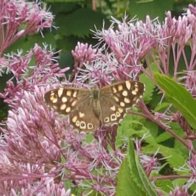 At Furzey Gardens our team regularly take time to count the numbers of butterflies and the different species they spot.  You can take part too, the Big Butterfly Count 2021 runs from Friday 16 July to Sunday 8 August.  Simply make a note of the number of butterflies you see in a park or garden near you. 🦋  Find out more https://bigbutterflycount.butterfly-conservation.org/