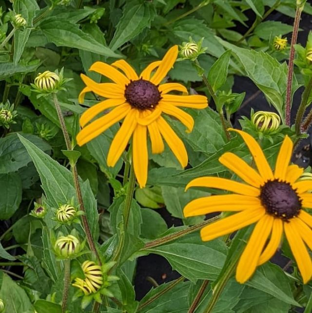 Rudbeckia 'Goldstrum' a hardy perennial available now on our plant sales area.  Masses of golden yellow flowers, just perfect for borders in full sun.  Lovingly nurtured in our onsite nursery by people with learning disabilities.   #rhspartnergardens #plantsforsale #hampshiregardens #thenewforest