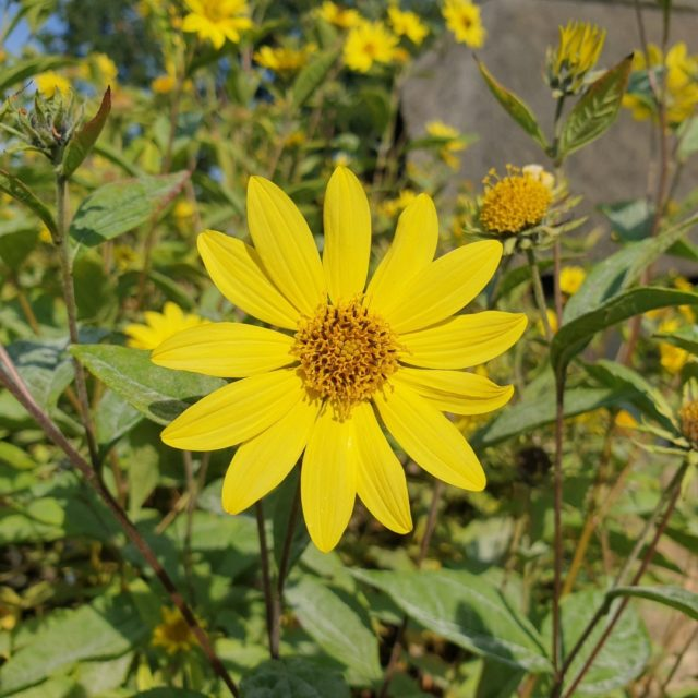 Helianthus divaricatus a beautiful pop of colour at Furzey Gardens this September.   Find out more about our September highlights https://www.minsteadtrust.org.uk/charity/blogs/september-at-furzey-gardens/